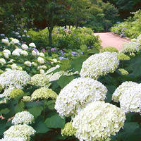 写真:神戸森林植物園のアジサイ