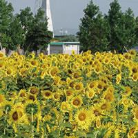 写真:小野ひまわりの丘公園のヒマワリ