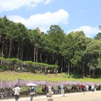 写真:白毫寺の藤遠景