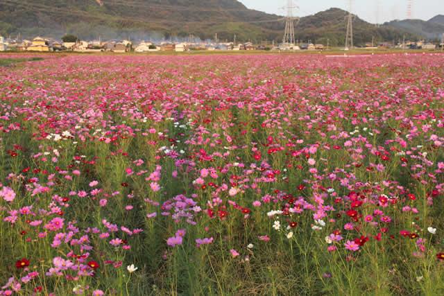 写真:コスモス畑