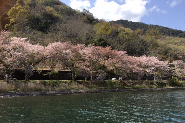 写真:湖畔に咲き誇る桜たち