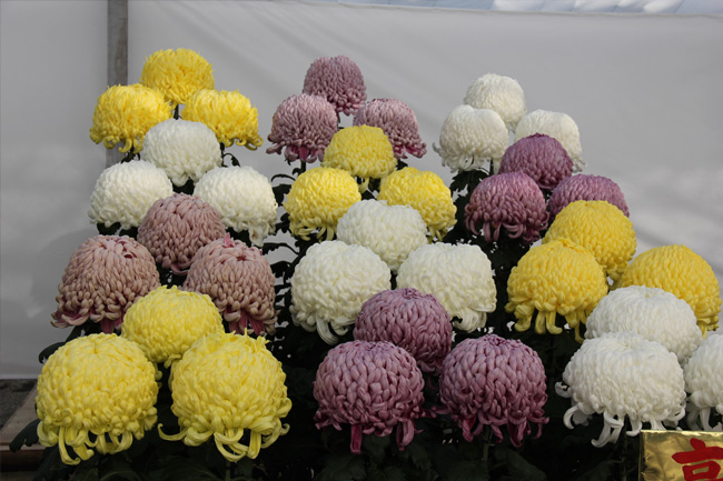 写真:こんもりとした大菊