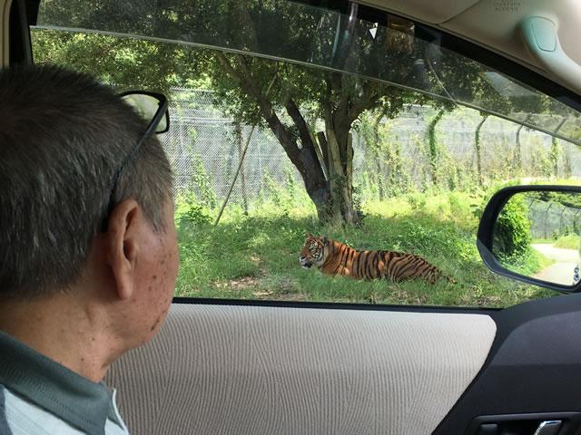 写真:虎を見る