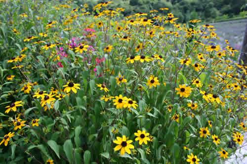 写真:黄色の花びらのハーブ