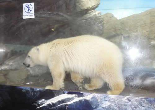 写真:ガラス越しにシロクマが歩く