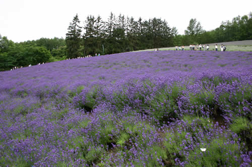 写真:富田ファームの花畑